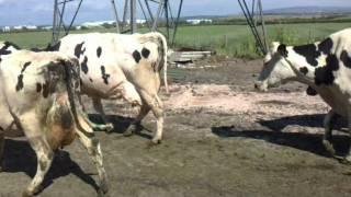 getlinkyoutube.com-crossbred cows grazing
