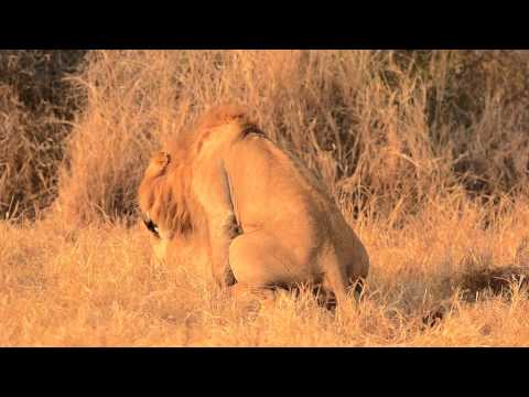 Majingilane Male Lion Mating with Lioness - Londolozi