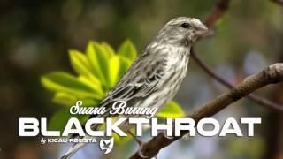 Serinus Atrogularis ( The Blackthroat Bird ) Singing - Burung Blackthroat Gacor
