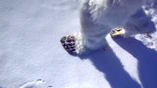 getlinkyoutube.com-Live Yeti Fooprints in Snow