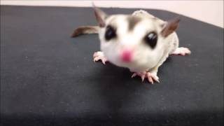 getlinkyoutube.com-Fun with Sugar Gliders