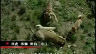 getlinkyoutube.com-Turkish Kangal Dogs vs. Tigers & Lions
