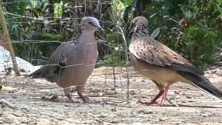getlinkyoutube.com-Bẩy chim cu gáy . Mồi duộc quá dạng mà nó quá khôn,quay phim quá đã(thành)