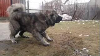 getlinkyoutube.com-Caucasian ovcharka 11 months