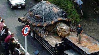 getlinkyoutube.com-WORLD'S BIGGEST TORTOISE - real or fake?