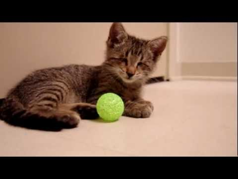 Blind Kitten Plays with First Toys