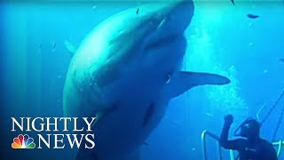getlinkyoutube.com-Say Hello to Deep Blue: 'The Biggest Shark Ever Filmed' | NBC Nightly News