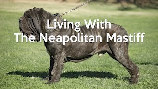 getlinkyoutube.com-ALL ABOUT LIVING WITH NEAPOLITAN MASTIFFS