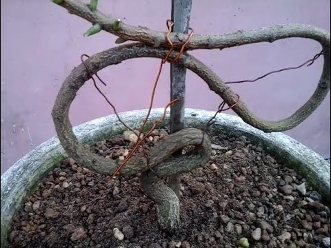 Neem tree wiring and pruning (step by step)