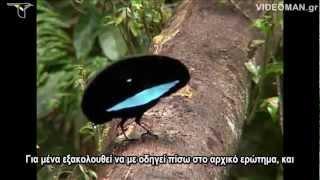 getlinkyoutube.com-BIRDS OF PARADISE Τα πουλιά του παραδείσου  Oiseaux de paradis