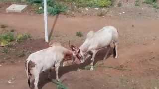 getlinkyoutube.com-Bulls fighting, Jamakhandi India