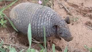 getlinkyoutube.com-Três espécies diferentes de tatu, Peba, Rabo mole, Galinha,