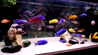 getlinkyoutube.com-Malawi cichlids aquarium poster background