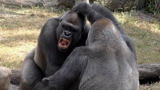 Gorilla Fight Club 1 UHD 4K FYV