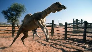 getlinkyoutube.com-بعير خكري مسوي فحل جابوه يضرب نياق .. فماذا فعل ..؟ مقطع مضحك