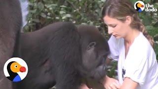 Gorillas Reunite with Girl, Dad Reunite Who Raised Them   The Dodo