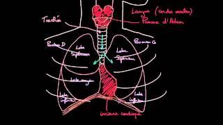 A la decouverte des poumons