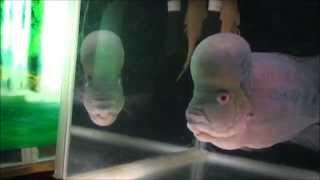 getlinkyoutube.com-我が家の熱帯魚 フラワーホーン(flowerhorn)  お食事  人工飼料