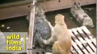 getlinkyoutube.com-Monkey rescue on railway tracks : real life miracle!