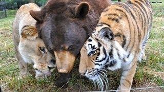 getlinkyoutube.com-Unusual BFFs: A lion and tiger and bear, oh my!