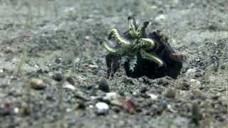 getlinkyoutube.com-Mantis Shrimp battles for its life in the arms of a flamboyant cuttlefish!