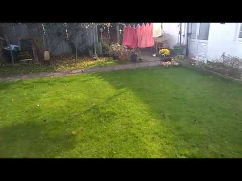 Watch the Chihuahuas Playing in the Garden 1 video