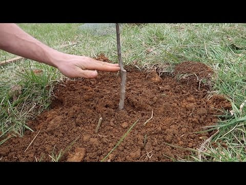 How We Plant An Apple Tree (short excerpt from vlog)