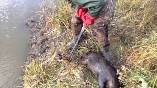 getlinkyoutube.com-muskrat trapping