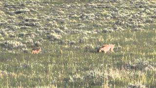 getlinkyoutube.com-Logan Double -  Coyote Hunting in Montana - Montana Doggers
