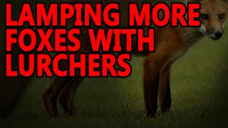 getlinkyoutube.com-Lamping more Foxes | Working Lurchers