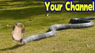 getlinkyoutube.com-งูจงอางยักษ์ งูพิษที่มีขนาดใหญ่ที่สุดในโลก