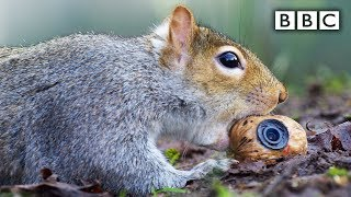 getlinkyoutube.com-Squirrel steals a fake nut - Spy in the Wild: Episode 2 Preview - BBC One