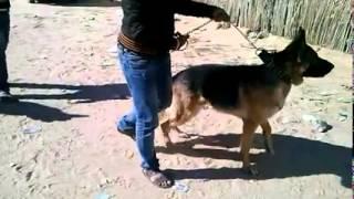 getlinkyoutube.com-الكلاب الشرسة في الجزائر