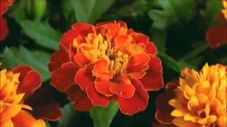 getlinkyoutube.com-Những cánh hoa nở tuyệt đẹp