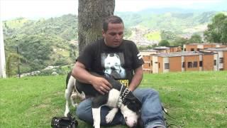 getlinkyoutube.com-Pitbull- perros que son tiernos y no peligrosos