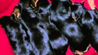 getlinkyoutube.com-Tiger male yorkie dog while female dog in heat 2