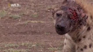 getlinkyoutube.com-Hyena face get destroyed after lion attack