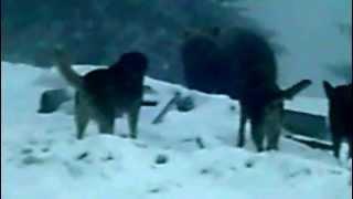 getlinkyoutube.com-LIVE - dogs fighting brown bear