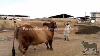 getlinkyoutube.com-Sindh Cattle Farm Brahman Bull 2013