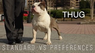 AMERICAN BULLY - STANDARD vs PREFERENCE IN THE SHOW RING