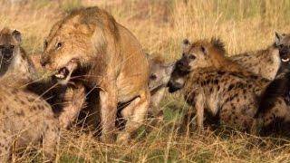 getlinkyoutube.com-Um leão x dezesseis hienas- macho mostra quem é que manda! Incrível!