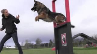 getlinkyoutube.com-Obedience IPO Trained Versatility German Shepherd