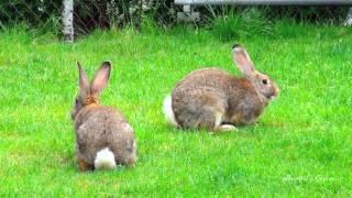 getlinkyoutube.com-Big Flemish Giant bunny rabbit: running, playing, digging