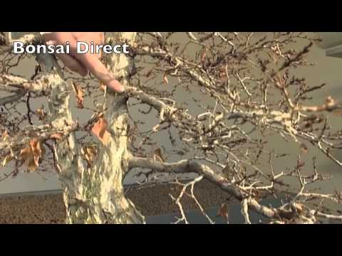 Bonsai Care with Lloyd Noall - Chapter 2 - Things That Make a Fantastic Bonsai