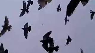 getlinkyoutube.com-Agra beautiful Pigeons 40