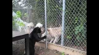 getlinkyoutube.com-Jaguar Kitten is protected by dog while Playfully Attacking People and Wolfdogs