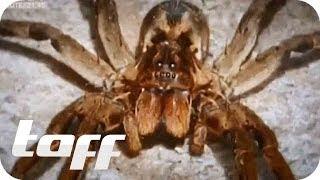 getlinkyoutube.com-Giftige Spinnen aus dem Supermarkt | taff