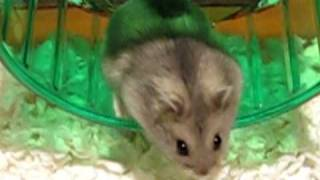 getlinkyoutube.com-Brand new hamster gets used to her cage