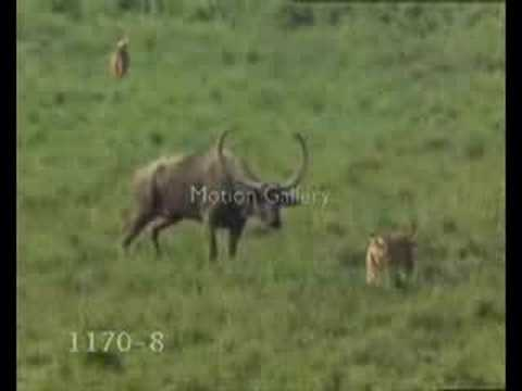 Lion vs.Tiger fight over Ox baby feat.Kurdish Techno Music