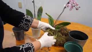 getlinkyoutube.com-Orchid Care Trick : How to Save Your Potted Orchid From Dying